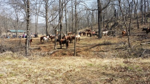 Trail Horses Standing Tied